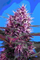 AUTO RED POISON * SWEET SEEDS RED FAMILY FEMINIZED