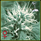 THE CHEESE * GREEN HOUSE FEMINIZED
