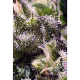 CREAM CARAMEL AUTO * SWEET SEEDS FEMINIZED