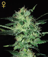 SUPER CRITICAL * GREEN HOUSE FEMINIZED