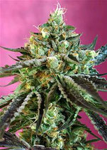 SWEET NURSE AUTO CBD® * SWEET SEEDS  FEM