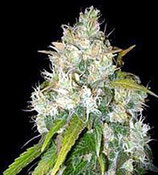 BLACK RUSSIAN * DELICIOUS SEEDS INDICA  FEM