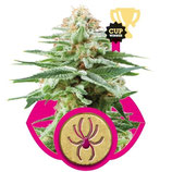 WHITE WIDOW - ROYAL QUEEN SEEDS - FEMMINIZZATA