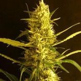 CITRO HAZE - HELVETIC SEEDS -  FEM