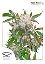 WHITE WIDOW DUTCH PASSION FEMMINIZZATA