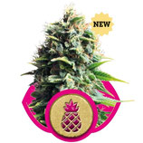 PINEAPPLE KUSH - ROYAL QUEEN SEEDS - FEMMINIZZATA