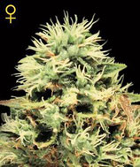 SUPER BUD * GREEN HOUSE FEMINIZED
