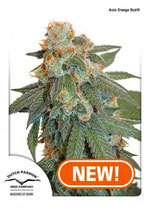 AUTO ORANGE BUD ® * DUTCH PASSION FEM