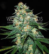 SKUNK 47 * WORLD OF SEEDS  FEM