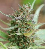 STRAWBERRY BLUE * WORLD OF SEEDS  FEM