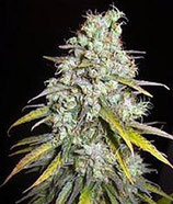 CRITICAL SUPER SILVER HAZE * DELICIOUS SEEDS SATIVA  FEM