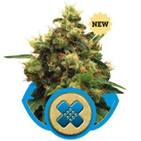 PAINKILLER XL - ROYAL QUEEN SEEDS - FEMMINIZZATA
