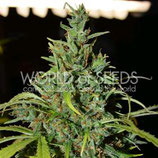 NEVILLE HAZE AUTO * WORLD OF SEEDS  FEM