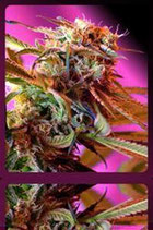 WILD ROSE * SWEET SEEDS FEMINIZED