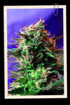 JACK 47 FAST VERSION * SWEET SEEDS FEMINIZED