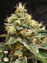 CONFIDENTIAL CHEESE * DNA GENETICS RESERVA PRIVADA FEM