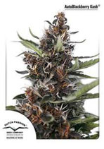 AUTO BLACKBERRY KUSH * DUTCH PASSION FEMINIZED