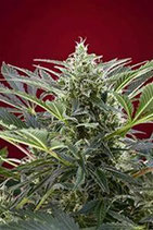 CREAM 47 * SWEET SEEDS FEMINIZED