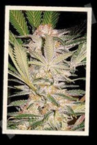 S.A.D. F1 FAST VERSION * SWEET SEEDS FEMINIZED
