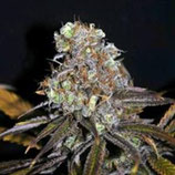 CRITICAL MASS * CBD- CREW SEEDS FEM