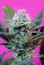 + SPEED AUTO * SWEET SEEDS FEMINIZED