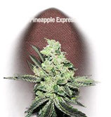 PINEAPPLE EXPRESS* FAST BUDS SEEDS AUTO FEM