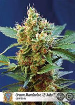 CREAM MANDARINE XL AUTO* SWEET SEEDS FEMINIZED