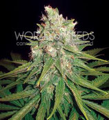 MAZAR X GREAT WHITE SHARK * WORLD OF SEEDS  FEM