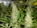 MALAKOFF MEDICAL SEEDS FEMMINIZZATA
