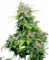 CALIFORNIA INDICA® * SENSI SEEDS  FEM