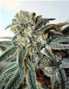 SOUR RIPPER * RIPPER SEEDS FEM