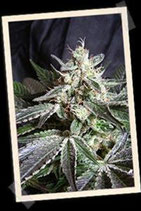 BLACK JACK FAST VERSION * SWEET SEEDS FEMINIZED