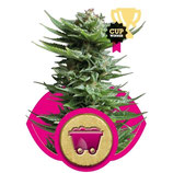 SHINING SILVER HAZE - ROYAL QUEEN SEEDS - FEMMINIZZATA