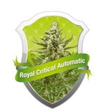 ROYAL CRITICAL AUTOMATIC * ROYAL QUEEN SEEDS AUTO