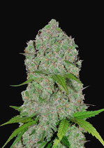 ORANGE SHERBET AUTO * FAST BUDS SEEDS -  FEM