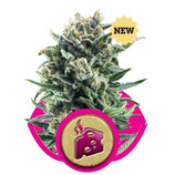 BLUE CHEESE ROYAL QUEEN SEEDS - FEMMINIZZATA