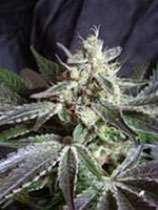 BLACK JACK * SWEET SEEDS FEMINIZED