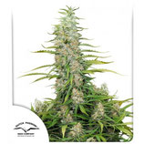 C-VIBEZ ® * DUTCH PASSION FEMINIZED