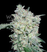 AFGHAN KUSH SPECIAL * WORLD OF SEEDS  FEM