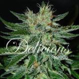 SUGAR BLACK ROSE * DELICIOUS SEEDS INDICA  FEM