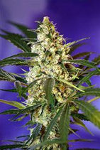 FAST BUD #2 AUTO * SWEET SEEDS FEMINIZED