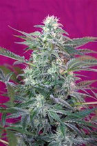 BIG FOOT * SWEET SEEDS FEMINIZED