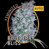 BLUEBERRY BLISS AUTO * VISION SEEDS  FEM