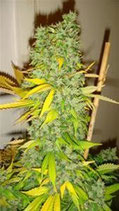 DAZY JONES * DEVIL'S HARVEST SEEDS  REG