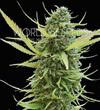 COLOMBIAN GOLD * WORLD OF SEEDS  FEM