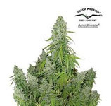 AUTO ULTIMATE * DUTCH PASSION FEMINIZED