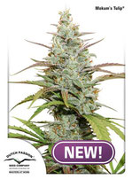 MOKUM'S TULIP® * DUTCH PASSION  FEM