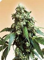 JACK FLASH # 5 * SENSI SEEDS  FEM