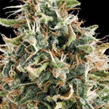 WHITE WIDOW * VISION SEEDS  FEM