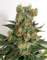 FUEL OG * RIPPER SEEDS  FEM
